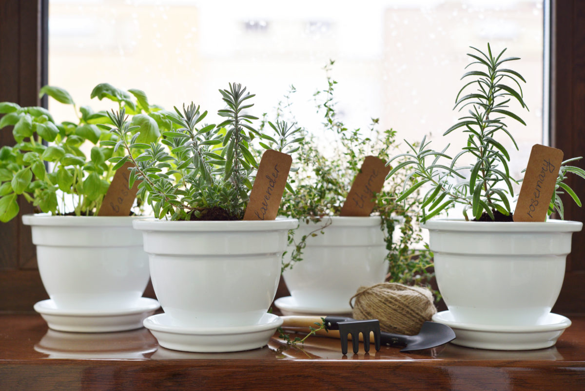 Fresh herbs in pot on windowsill. Shallow dof
